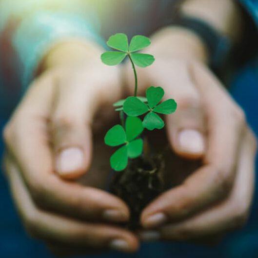 Hände halten ein Kleeblatt als Zeichen für Glück